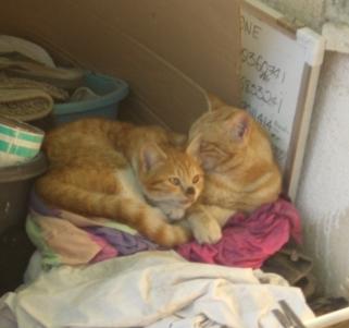 Nablus cats